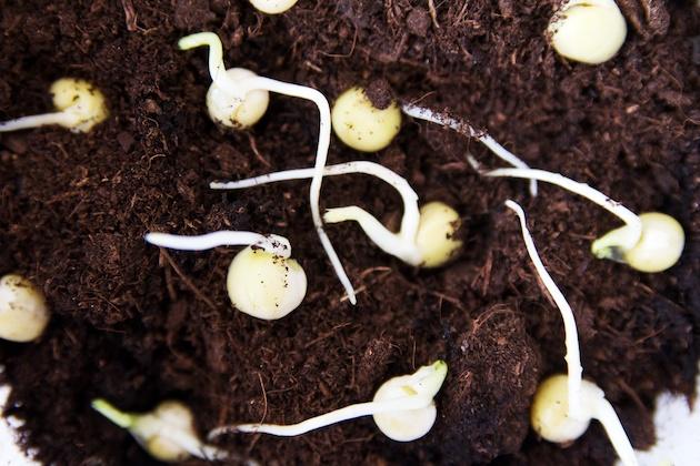 Planten van gekiemde erwten