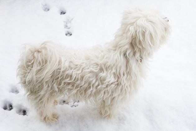 Veganistisch hond in de sneeuw