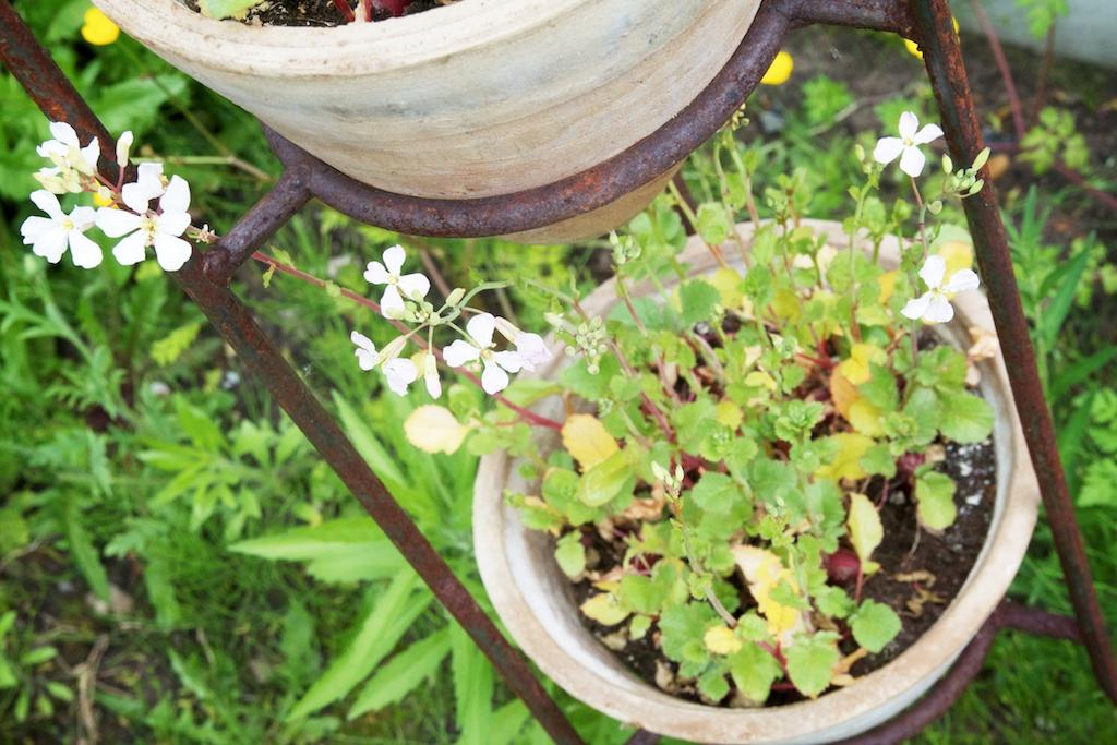Radijzen in potten met bloemen