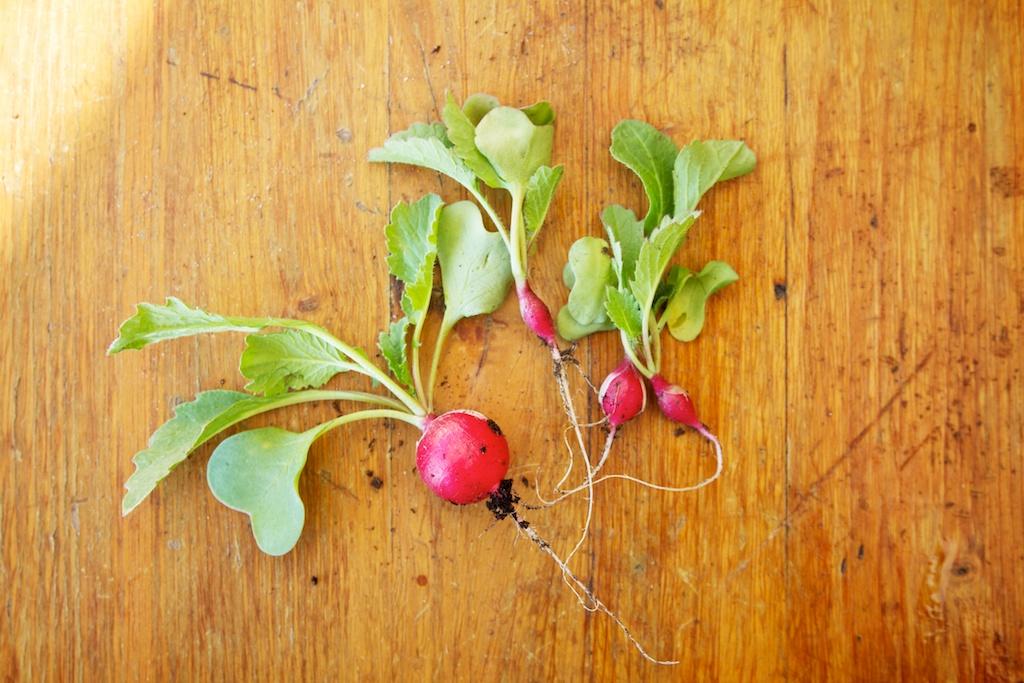 Radijsjes zelf kweken in potten en oogsten