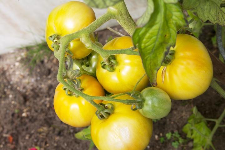 Tros oranje tomaten