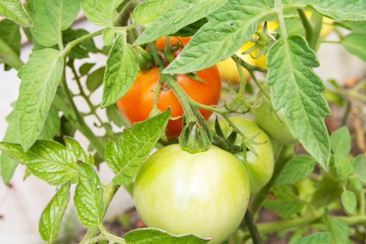 Tomaten zelf kweken buiten in de tuin - Rode tomaat aan de plant