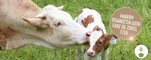 Waarom veganisten geen kaas en zuivel eten